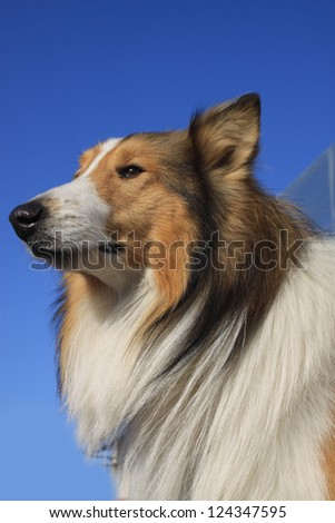 closeup of scottish collie