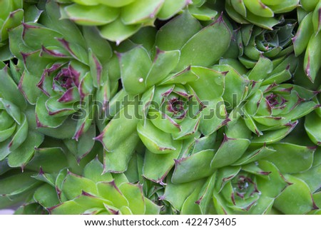 Closeup of Sempervivum calcareum-houseleek