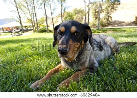 closeup of senior dog lying on the grass - stock photo