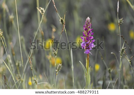 Closeup of single Fragrant orchid (Gymnadenia conopsea) amongst other vegetation at coastal meadow in Norway.