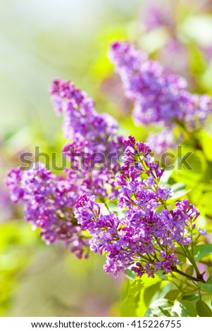 Closeup of Siren Flower at Blossom in Spring - stock photo