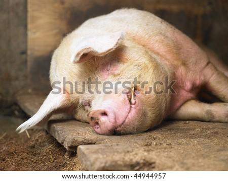 Closeup of sleeping pig facing the camera. Horizontal shot. - stock photo