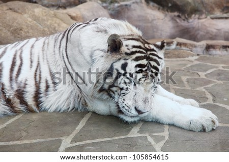 Closeup of sleeping white tiger in Moscow zoo. Nobody - stock photo