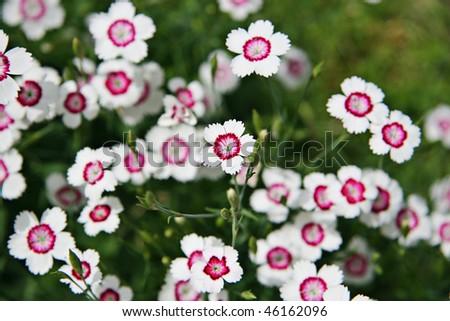Closeup small pink white flowers stock photo royalty free 46162096 closeup of small pink and white flowers mightylinksfo