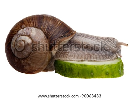 closeup of snail in profile eating green cucumber isolated on white
