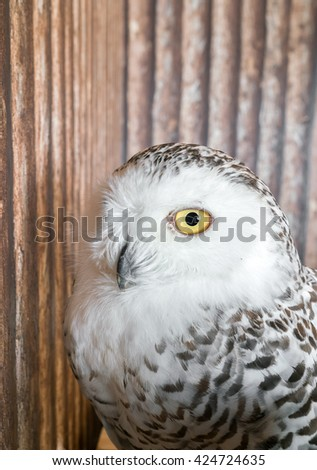 closeup of snow owl with nature background