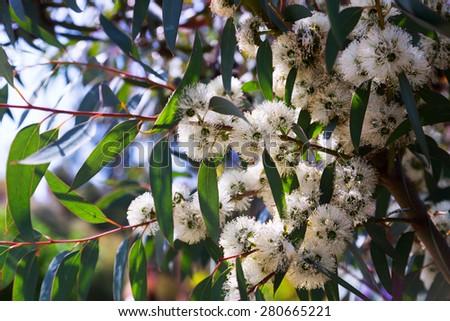 Closeup of  soap mallee  (Eucalyptus diversifolia) plant  - stock photo
