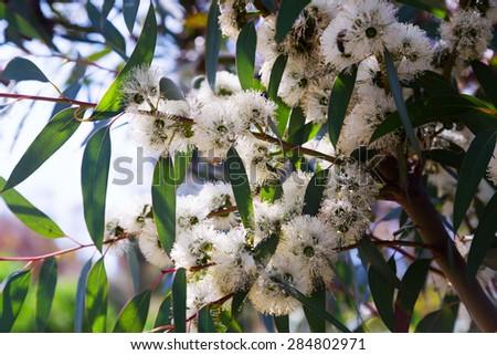 Closeup of  soap mallee  (Eucalyptus diversifolia) plant  in spring - stock photo
