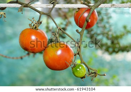 closeup of some heirloom tomatoes hanging on a string - stock photo