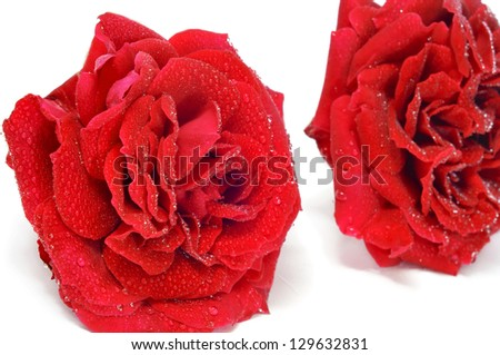 closeup of some roses with water droplets on a white background