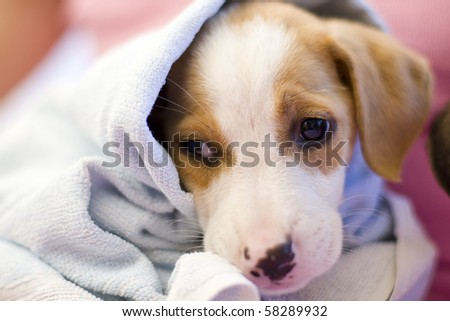 Closeup of spaniel puppy   after the bath - stock photo