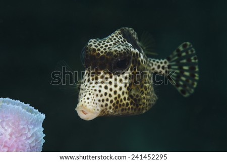 Closeup of Spotted Trunkfish (Lactophrys bicaudalis) - Roatan, Honduras - stock photo