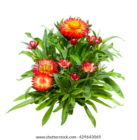 Closeup of Srawflower or Helichrysum on white background. - stock photo