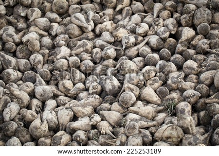 Closeup of sugar beets in the sun waiting for transport to the sugar refinery - stock photo