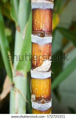 Closeup of sugar cane and leaves - stock photo