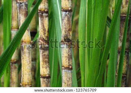 Closeup of sugar cane plantation - stock photo