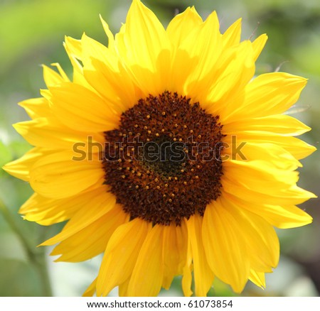 Closeup of Sunflower - stock photo
