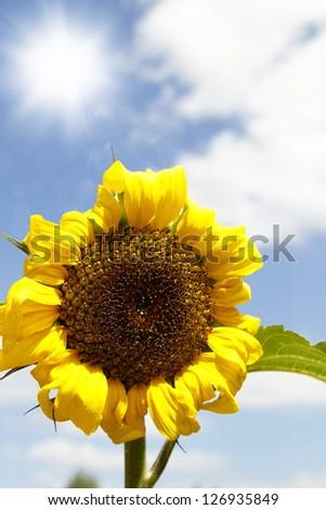 Closeup of sunflower and sunny sky - stock photo