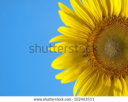 Closeup of sunflower with blue sky like smile upon the sun - stock photo