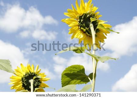 Closeup of sunflowers and blue sky - stock photo