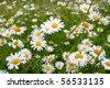 Closeup of sunny chamomile field - stock photo