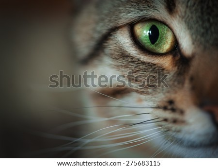 Closeup of tabby cat face. Fauna background - stock photo