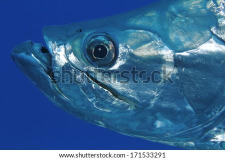 Closeup of Tarpon (Megalops atlanticus) - Bonaire - stock photo