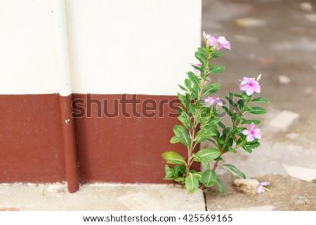 Closeup of Thai Vinca flowers growth through crack floor - stock photo
