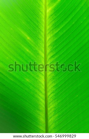 closeup of the banana leaf with back light for wallpaper and presentation
