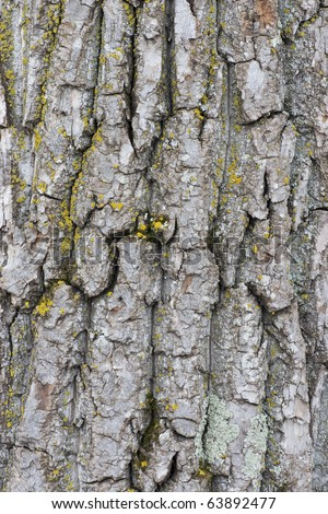 Closeup of the bark of old poplar (Populus balsamifera) trees - stock photo