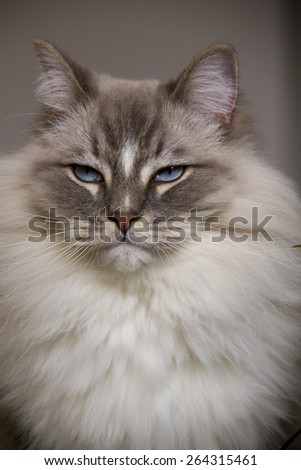 Closeup of the beautiful blue eye of a ragdoll cat. - stock photo