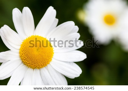 Closeup of the blooming oxeye daisy (Leucanthemum vulgare) - stock photo