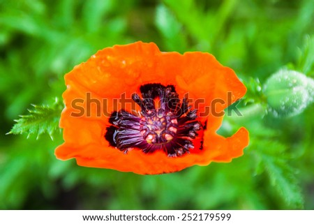Closeup of the blooming red poppy flower and poppy bud with dewdrops. - stock photo