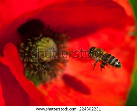 Closeup of the blooming red poppy flower with a pollinating bee. - stock photo