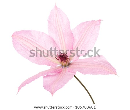 Closeup of the blossom of a pink clematis over a white background - stock photo