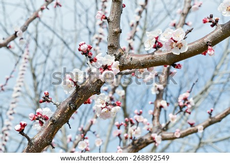 Closeup of the blossoms of fertile blooming tree in a beautiful spring day - stock photo