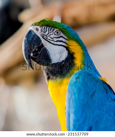 Closeup of The Blue-and-yellow Macaw - stock photo