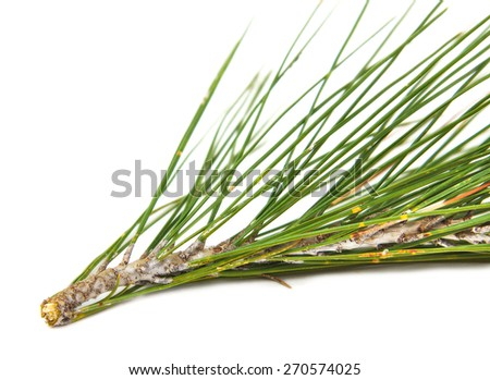 Closeup of the branch of a pine on white background - stock photo