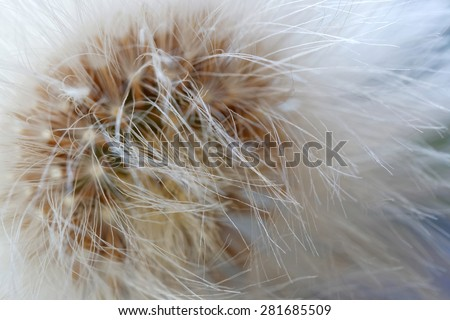Closeup of the center of an over bloomed dandelion, forming an abstract beautiful pattern. Latin name: Taraxacum Ruderalia - stock photo