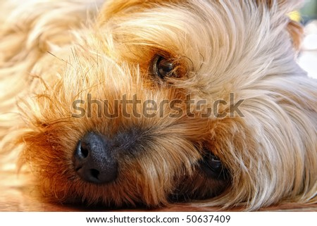 Closeup of the cute and trusting face of a Silky Terrier (breed related to Yorkshire Terrier or Yorkie) while it rests in sunlight and looks straight at the camera.