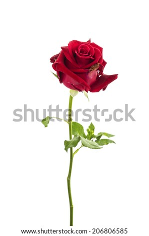 closeup of the dried up bud of a red rose over white - stock photo