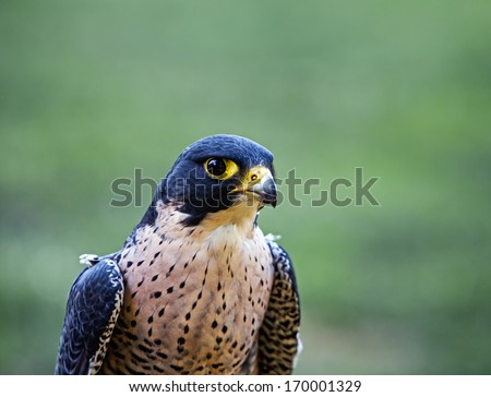 Closeup of the face of a Peregrine Falcon (Falco peregrinus)  - stock photo