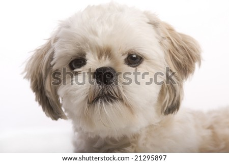 Closeup of the face of a Shih tzu puppy isolated against white background - stock photo