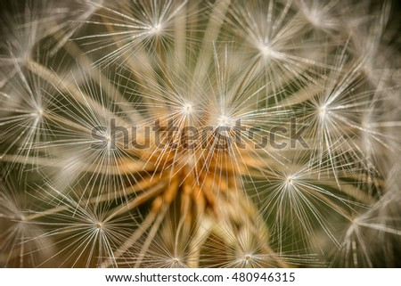 Closeup of the fluffy seeds of a dandelion