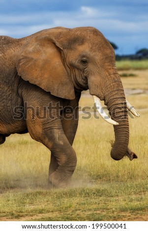 Closeup of the front-side of an African Elephant eating grass in Amboseli National Park, Kenya - stock photo