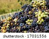 closeup of the grapes from the vitage - stock photo