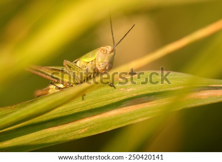 Closeup of the grasshopper on green leaf - stock photo