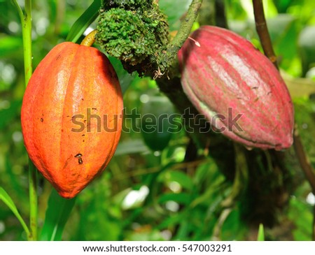 closeup of the growing cacao tree fruit in Hawaii Big Island Oahu