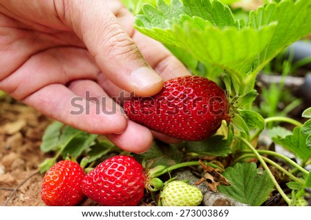 closeup of the hand of a young man picking a strawberry from the plant - stock photo