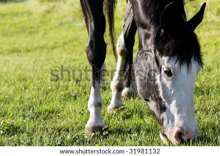 Closeup of the head of a black and white Paint Horse grazing on a green pasture in bright sunset light (shallow focus on horse head).